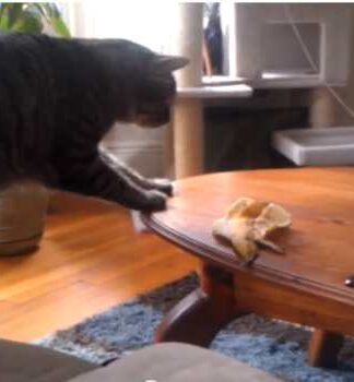 Daily Peel Cat vs Monkey Pickles