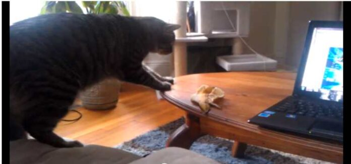Daily Peel Cat vs Monkey Pickles