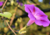 saturday morning, cartoon, random, flower, morning glory