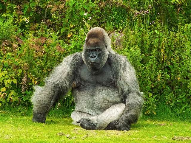 jokes, howlers, monkey, gorilla, zoo, costume, suit