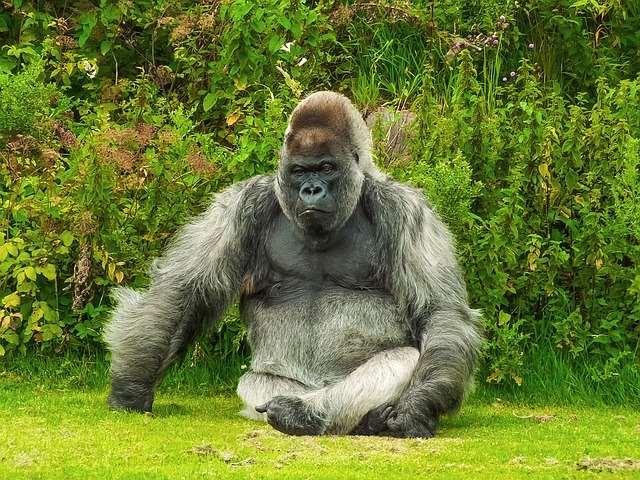 jokes, howlers, monkey, gorilla, zoo, costume, suit