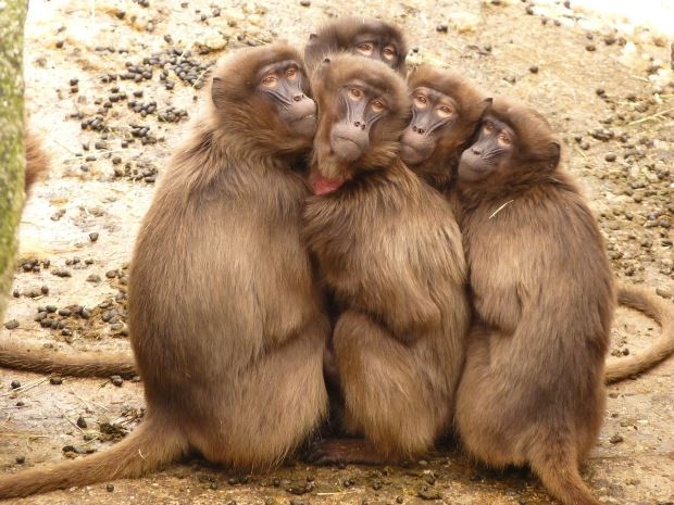 Funny jokes, Howlers, Joke Of The Day, Monkey Pickles, monkey cage, captivity