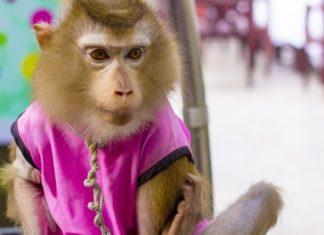 Funny Joke Of The Day, Monkey Pickles, pet monkey, monkey jokes