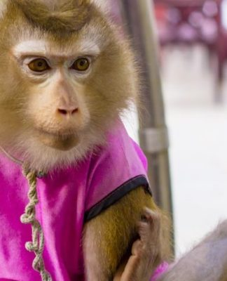 Funny Joke Of The Day, Monkey Pickles, pet monkey, monkey jokes