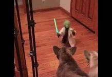 French Bulldog Terrier VS Yoda legendary Jedi Master