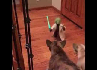 French Bulldog Terrier VS Yoda legendary Jedi Master