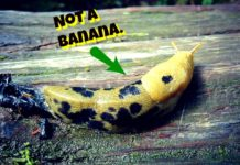 Fun Facts, Banana Slugs, Things That Look Like Bananas, Funny Animals